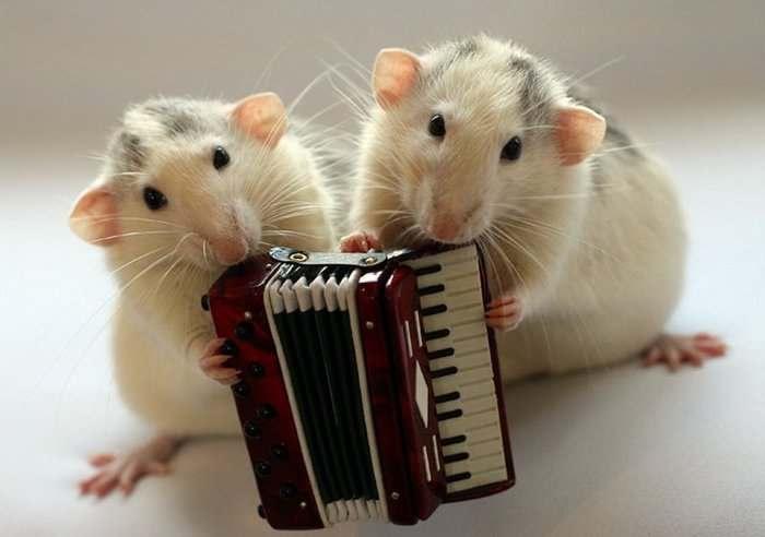 крысы баян